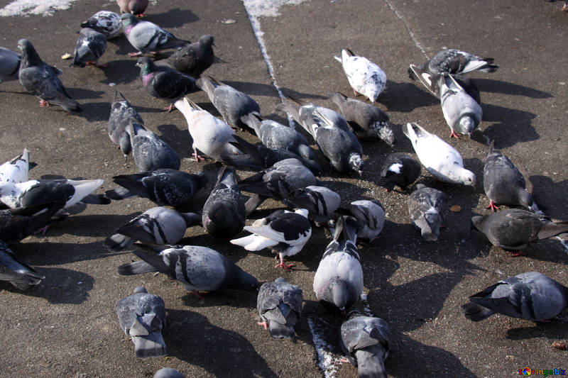 Free picture (A flock of pigeons pecking crumbs on the pavement) from https://torange.biz/flock-pigeons-pecking-crumbs-pavement-512